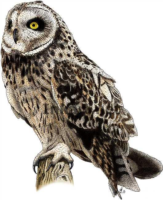 Short-eared Owl coloring #5, Download drawings
