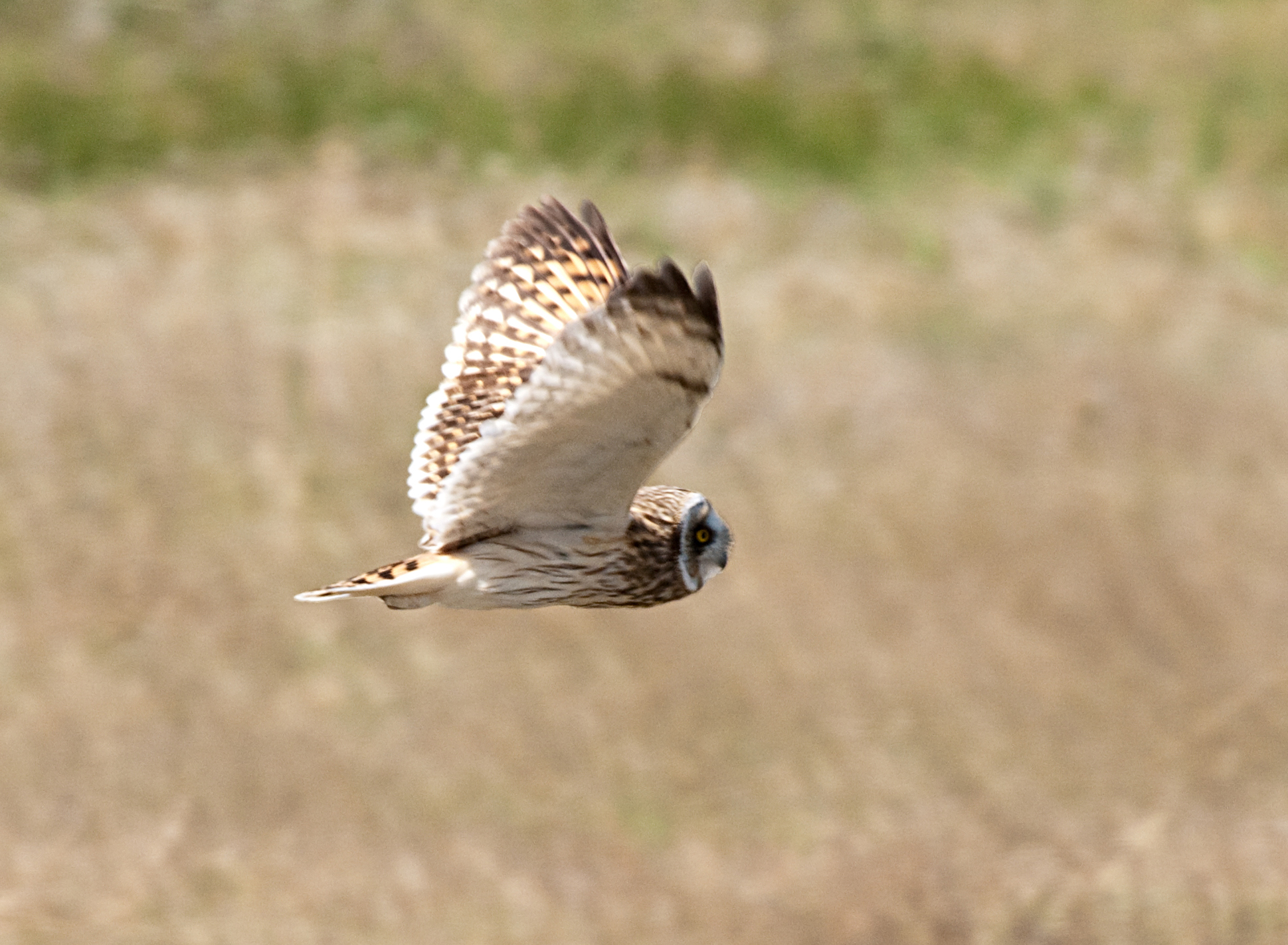 Short-eared Owl svg #16, Download drawings