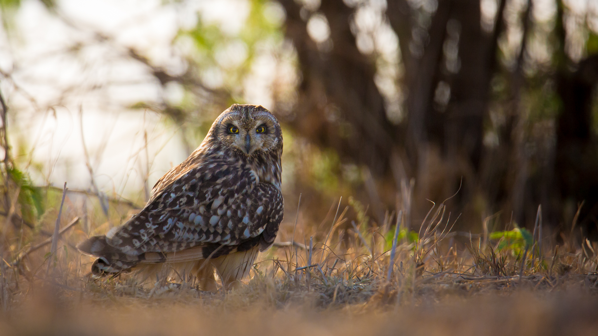 Short-eared Owl svg #13, Download drawings