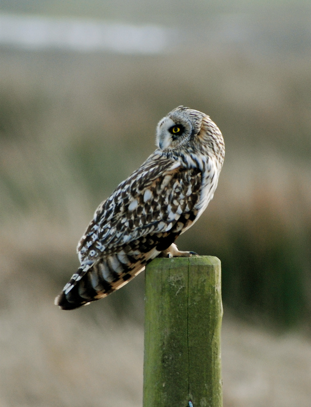 Short-eared Owl svg #14, Download drawings