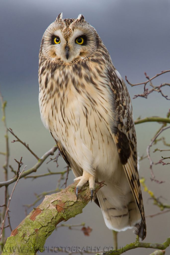 Short-eared Owl svg #8, Download drawings