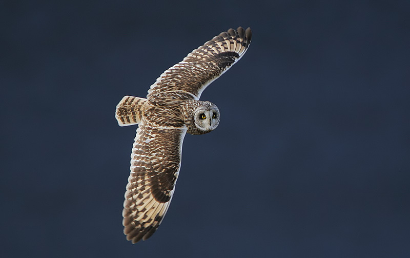 Short-eared Owl svg #10, Download drawings