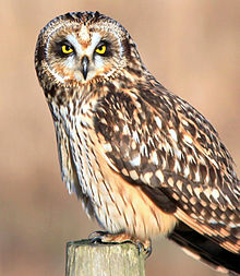 Short-eared Owl svg #9, Download drawings
