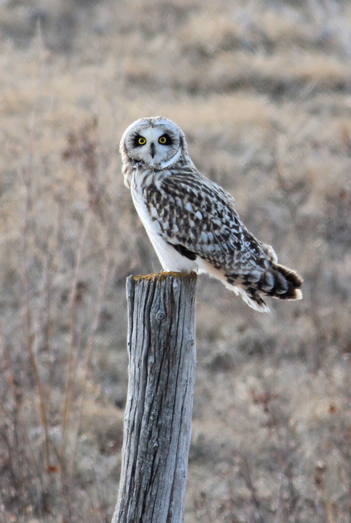 Short-eared Owl svg #4, Download drawings
