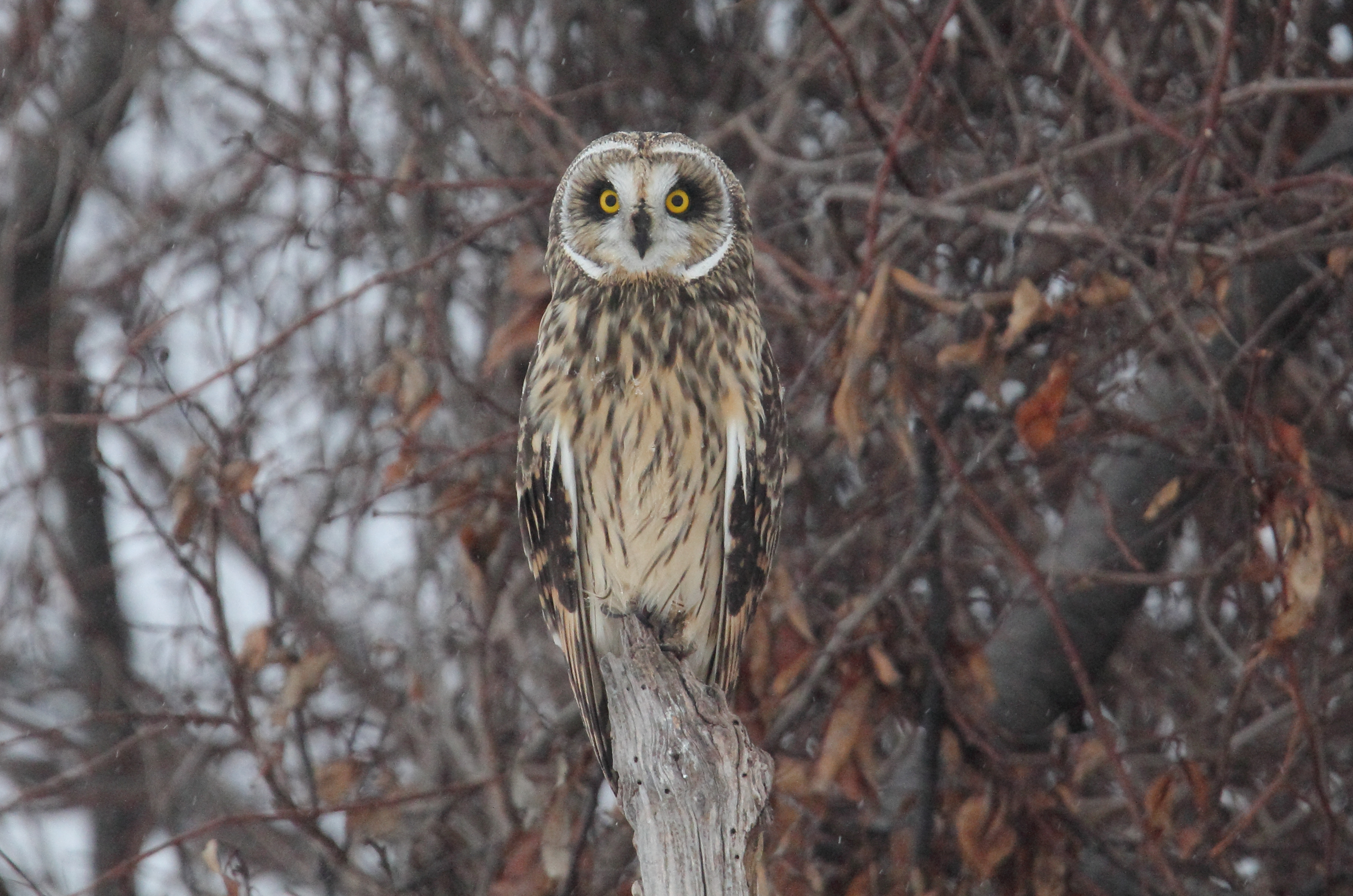 Short-eared Owl svg #2, Download drawings