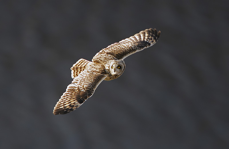 Short-eared Owl svg #5, Download drawings