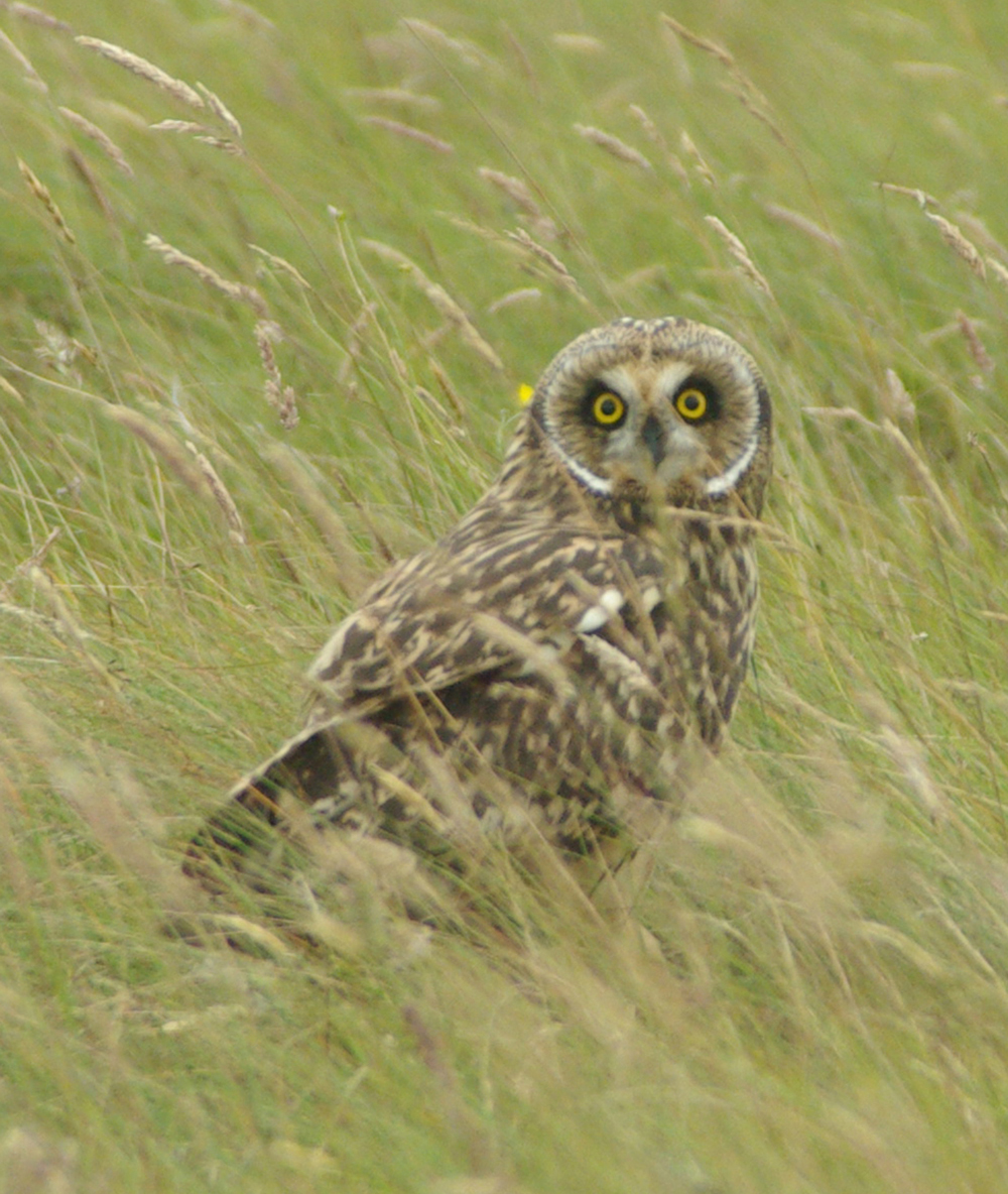 Short-eared Owl svg #19, Download drawings