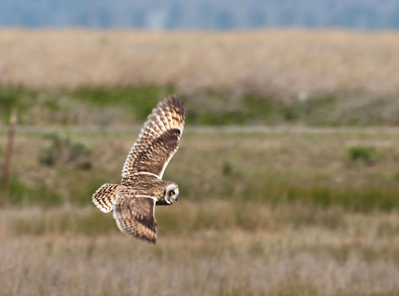 Short-eared Owl svg #15, Download drawings