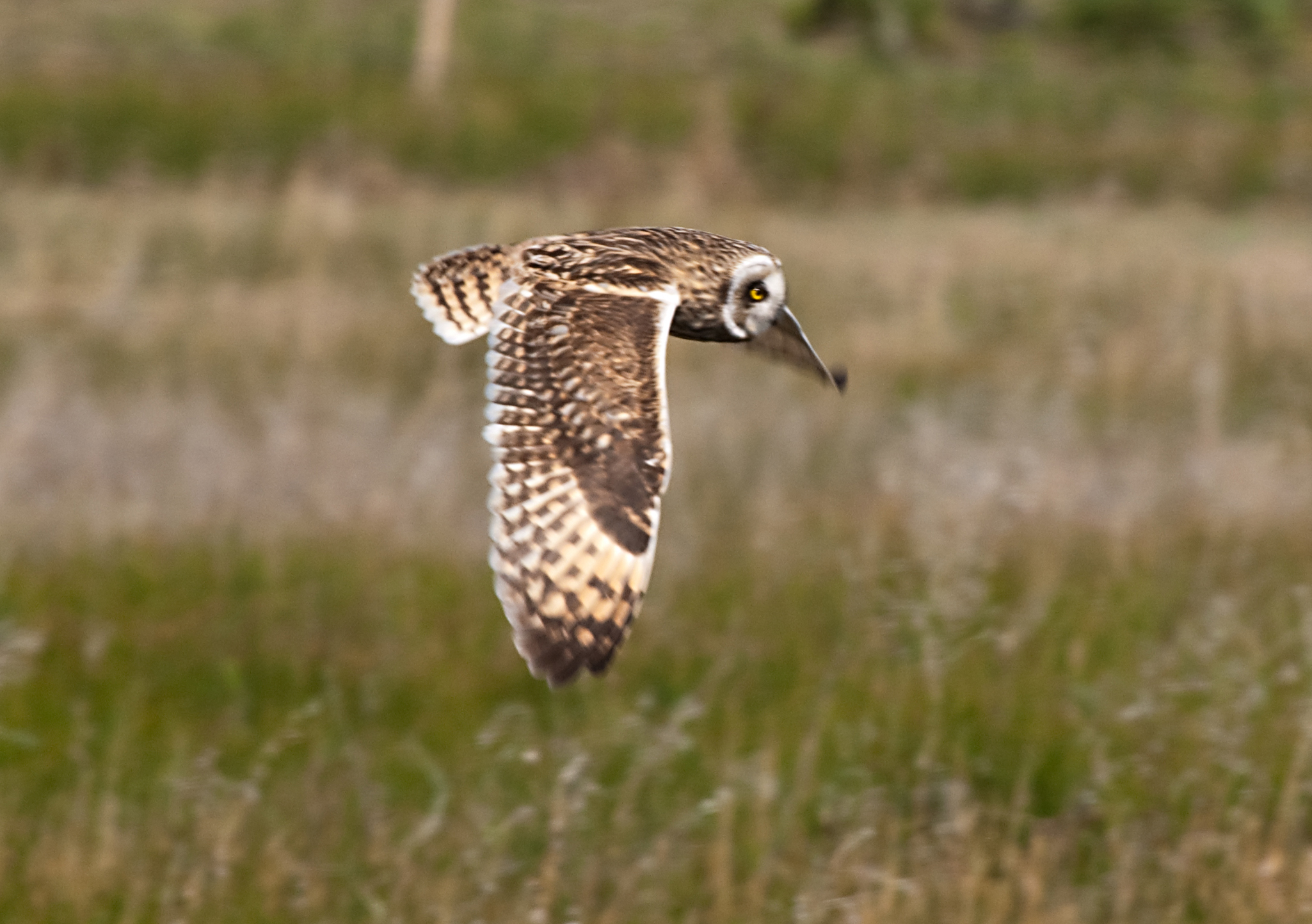 Short-eared Owl svg #3, Download drawings