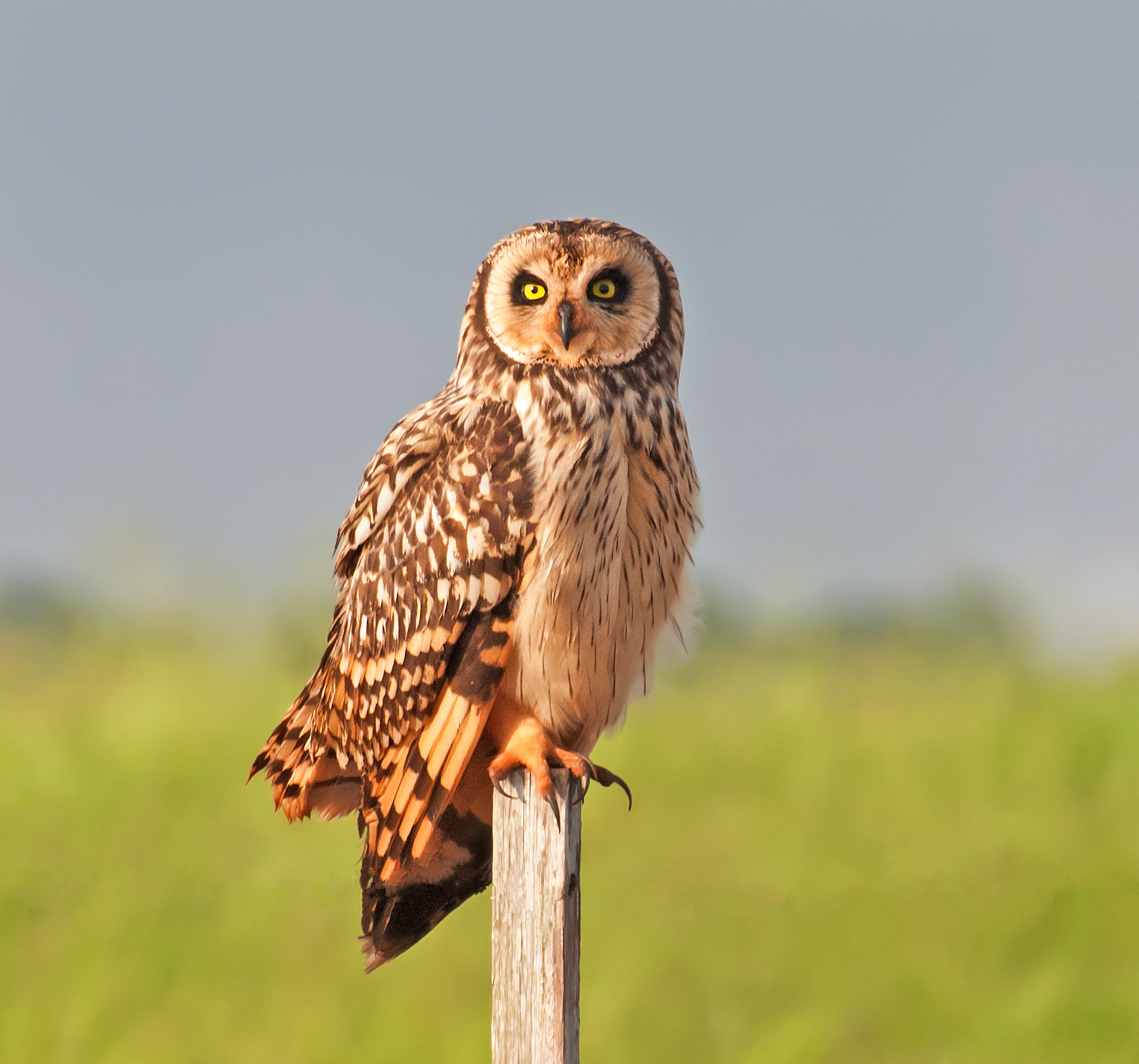 Short-eared Owl svg #18, Download drawings