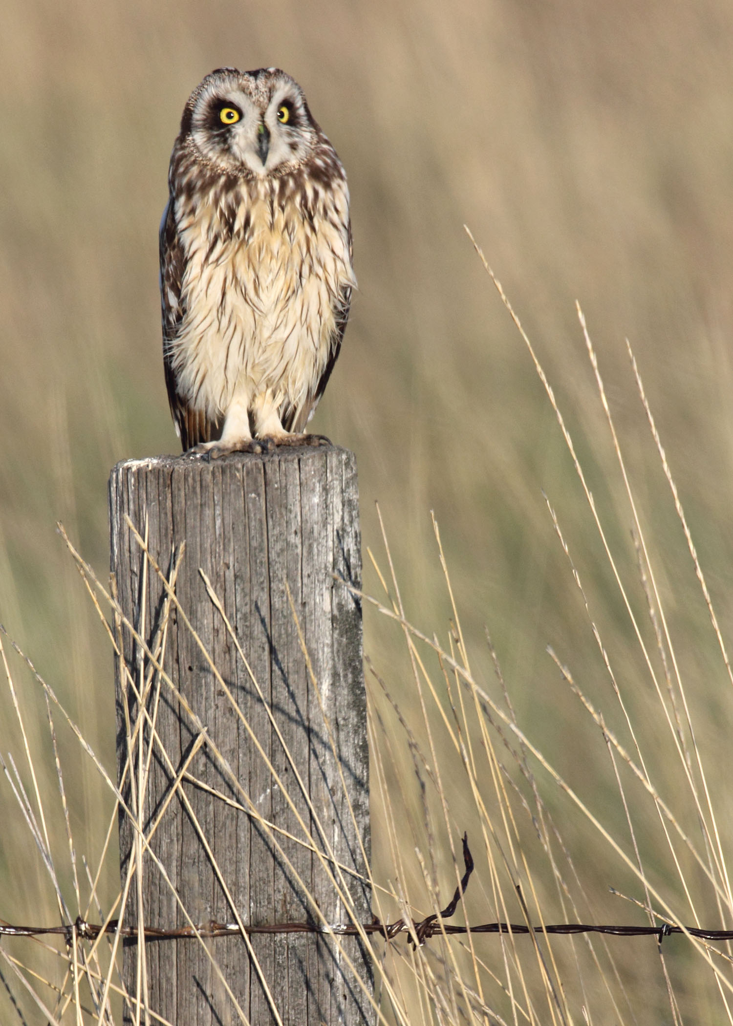 Short-eared Owl svg #17, Download drawings