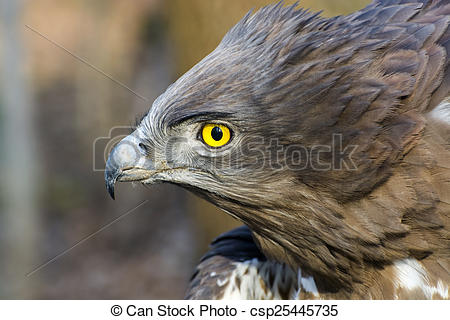 Short-toed Snake Eagle clipart #13, Download drawings