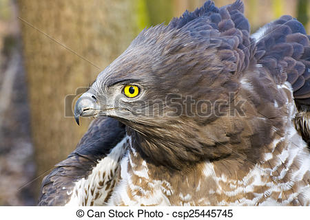 Short-toed Snake Eagle clipart #10, Download drawings