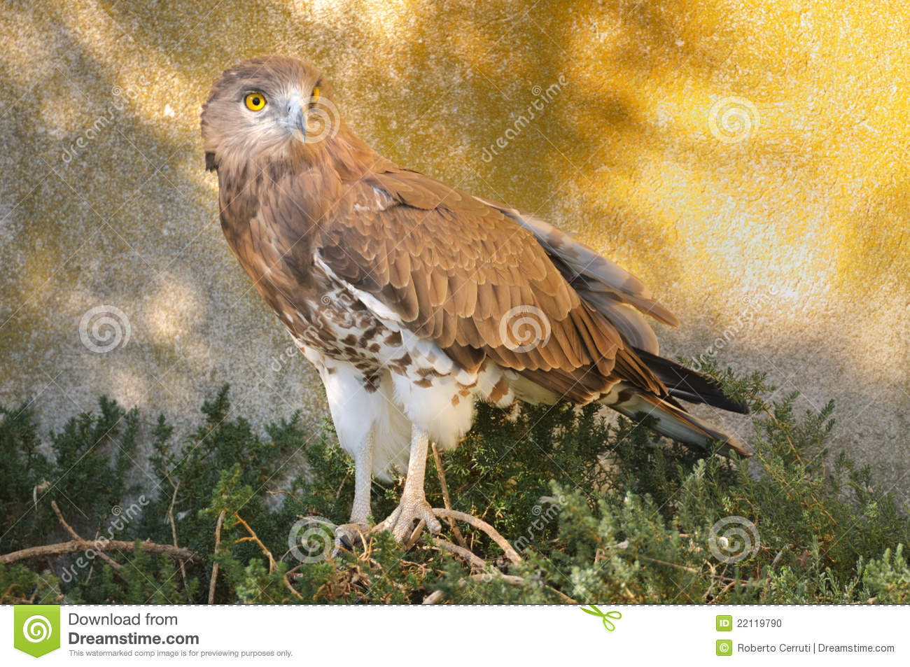 Short-toed Snake Eagle clipart #4, Download drawings