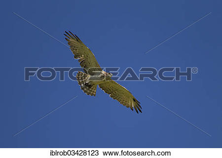 Short-toed Snake Eagle clipart #11, Download drawings
