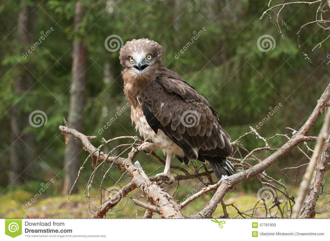 Short-toed Snake Eagle clipart #18, Download drawings