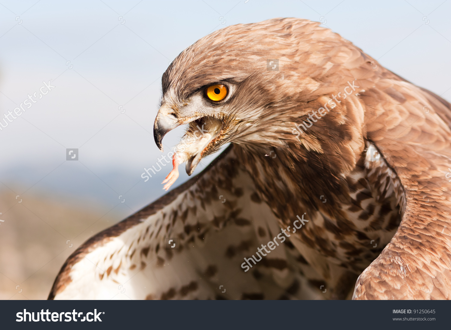 Short-toed Snake Eagle clipart #6, Download drawings
