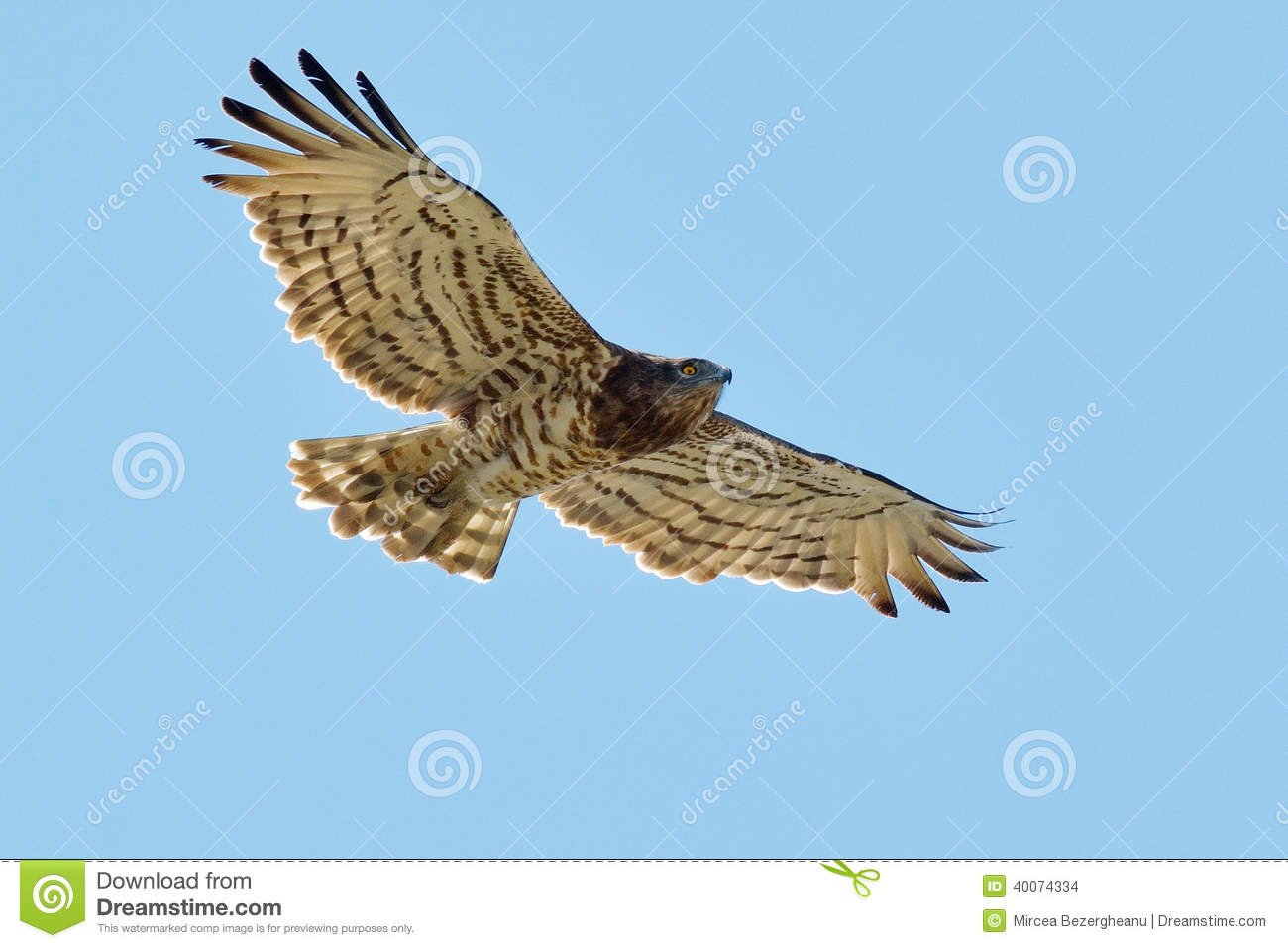 Short-toed Snake Eagle clipart #16, Download drawings