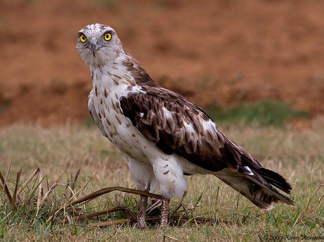 Short-toed Snake Eagle svg #20, Download drawings