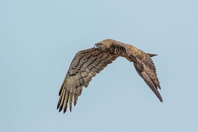 Short-toed Snake Eagle svg #9, Download drawings