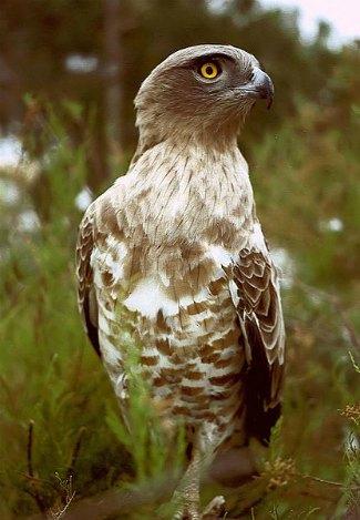 Short-toed Snake Eagle svg #18, Download drawings