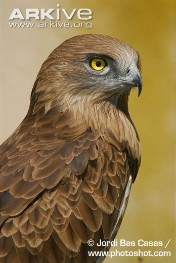 Short-toed Snake Eagle svg #11, Download drawings