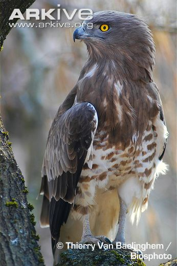 Short-toed Snake Eagle svg #10, Download drawings
