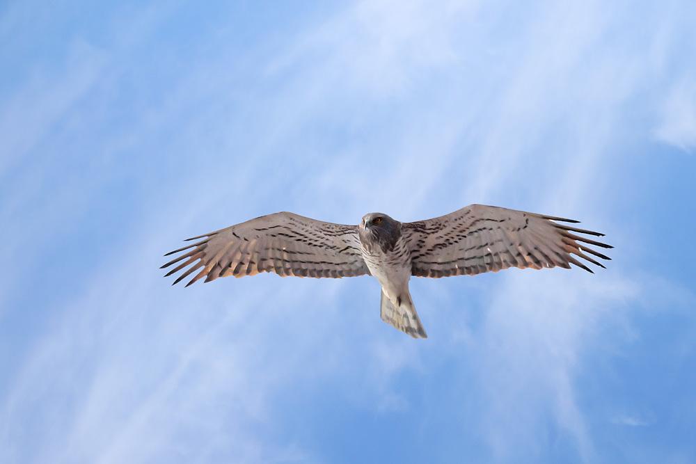 Short-toed Snake Eagle svg #19, Download drawings