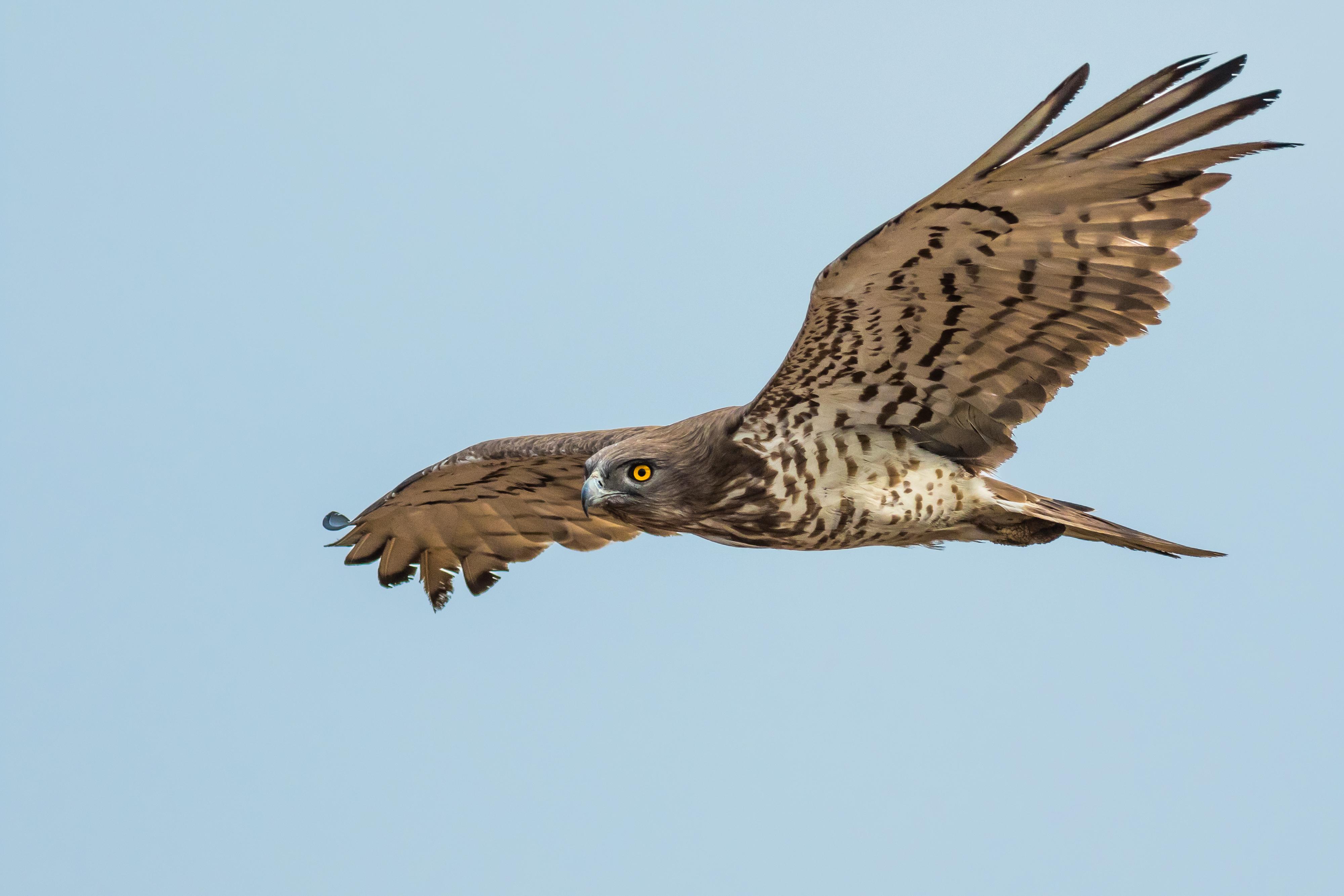 Short-toed Snake Eagle svg #13, Download drawings