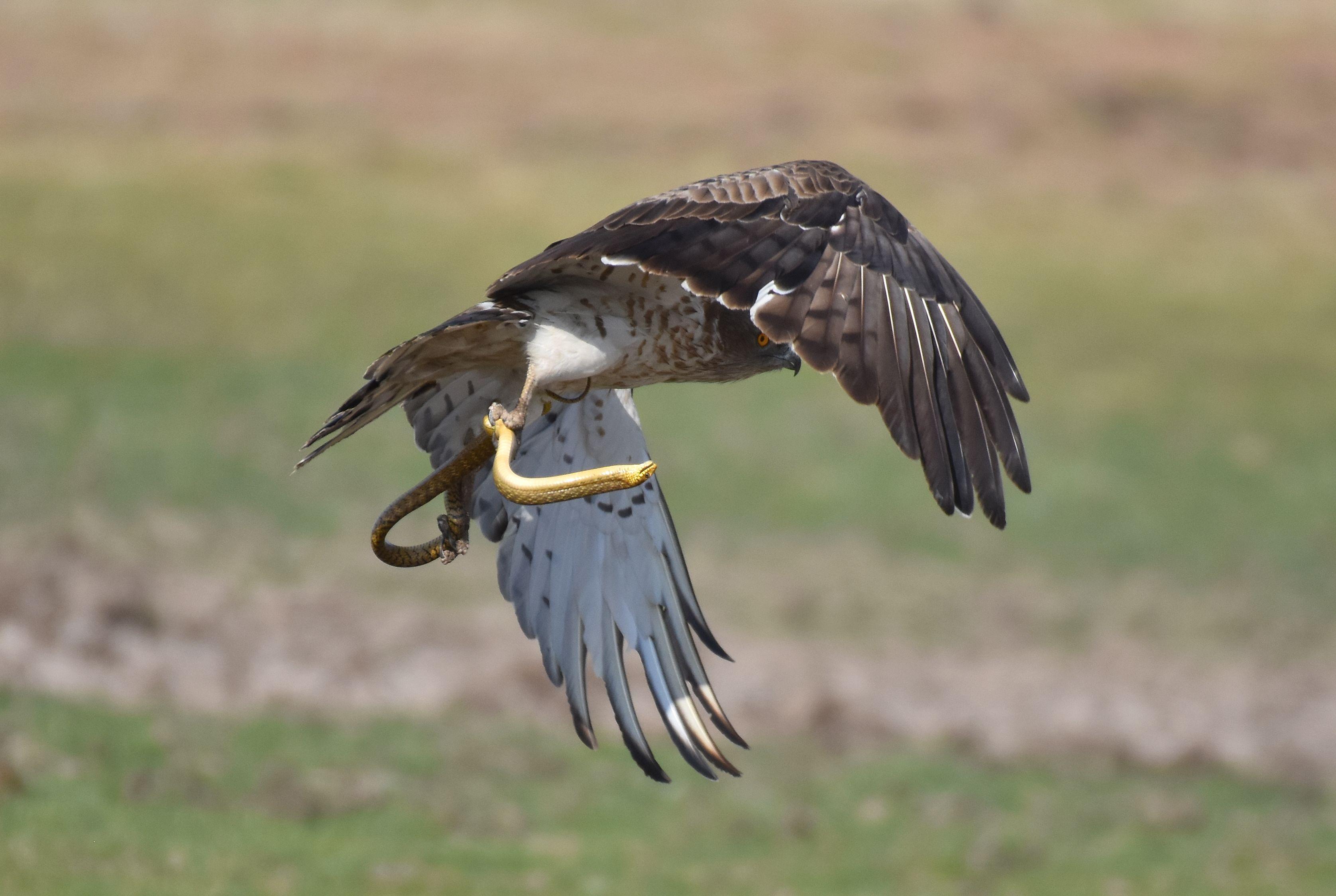 Short-toed Snake Eagle svg #14, Download drawings