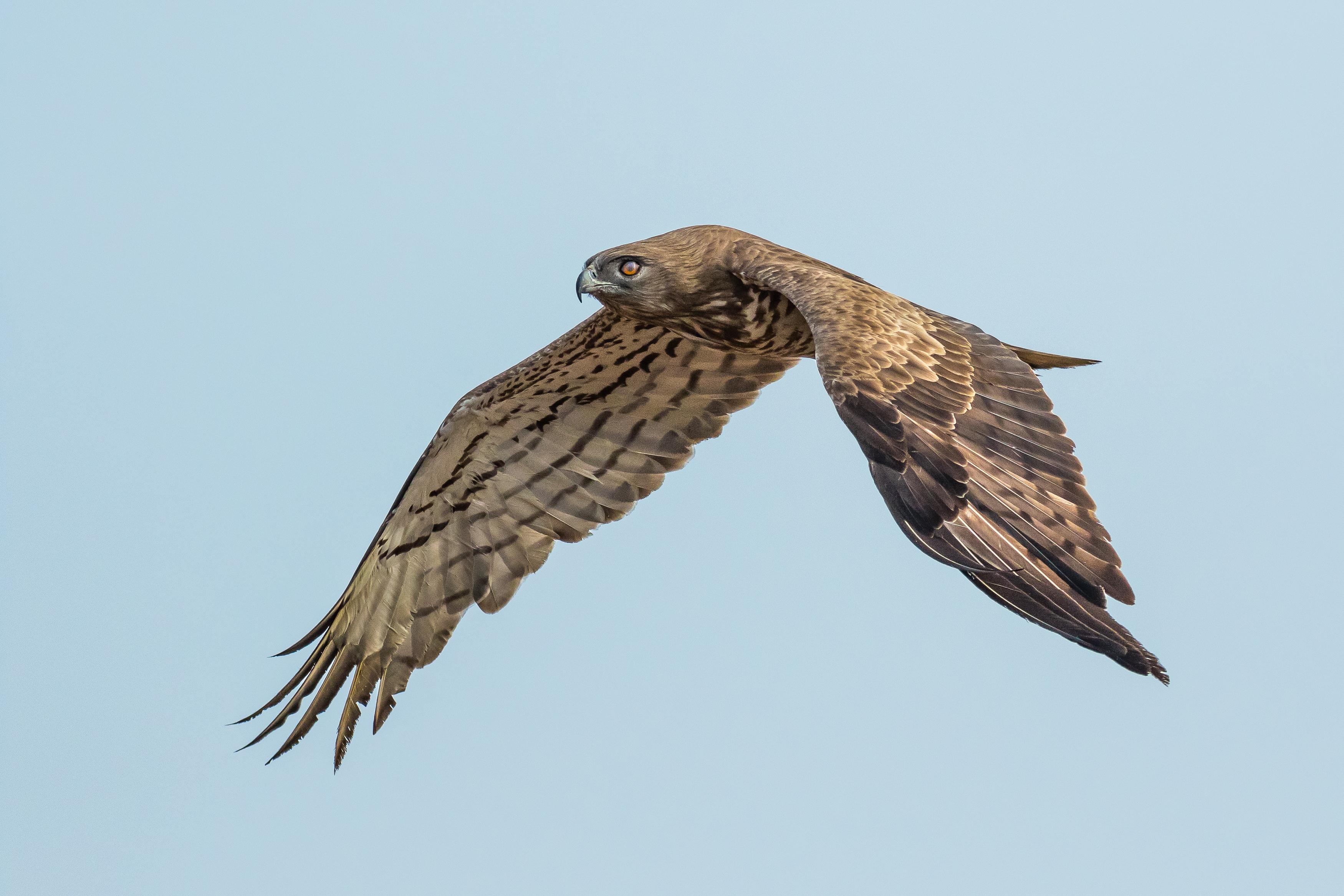 Short-toed Snake Eagle svg #4, Download drawings