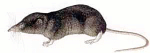 Shrew clipart #2, Download drawings