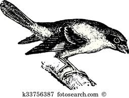 Shrike clipart #18, Download drawings