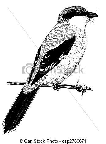 Shrike clipart #10, Download drawings