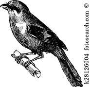 Shrike clipart #7, Download drawings