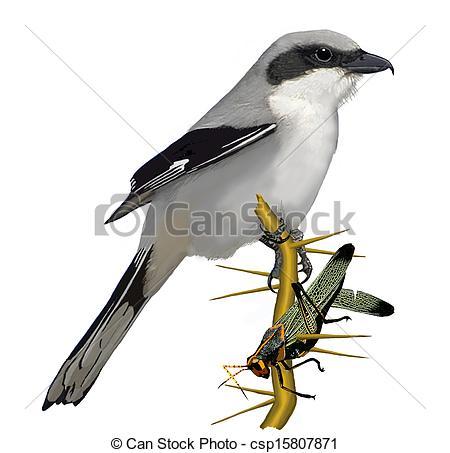 Shrike clipart #3, Download drawings