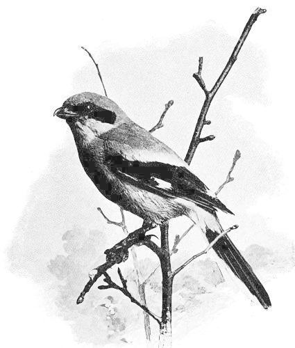 Shrike clipart #20, Download drawings