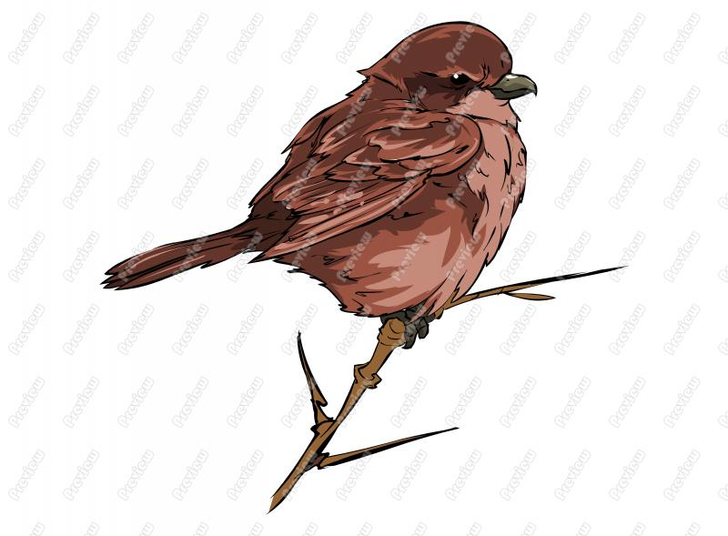 Shrike clipart #19, Download drawings