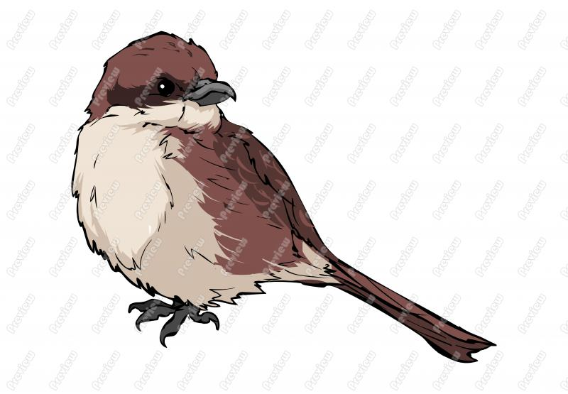Shrike clipart #6, Download drawings