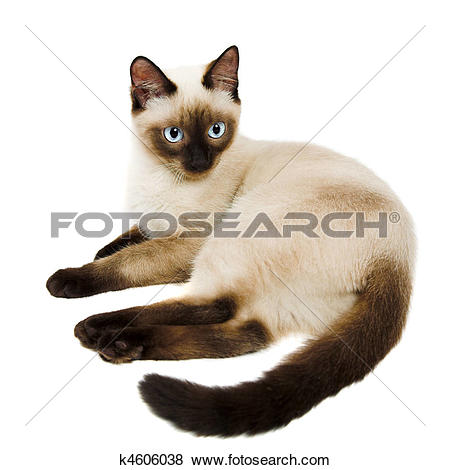 Siamese Cat clipart #11, Download drawings