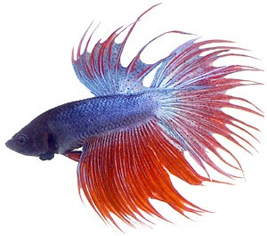 Siamese Fighting Fish clipart #16, Download drawings