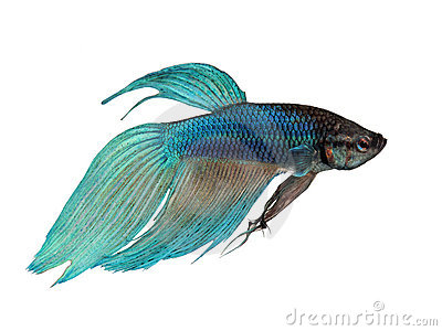 Siamese Fighting Fish clipart #3, Download drawings