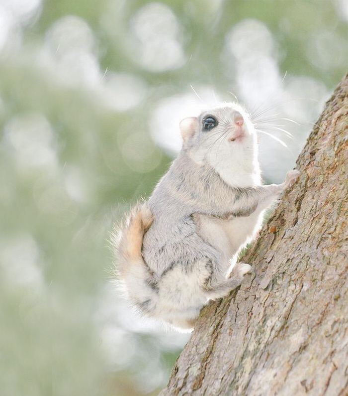 Siberian Flying Squirrel clipart #5, Download drawings