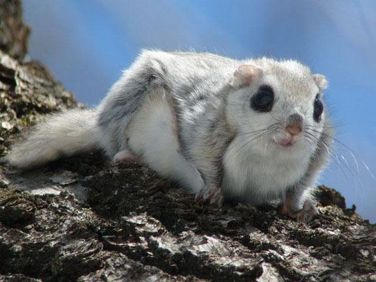 Siberian Flying Squirrel clipart #10, Download drawings