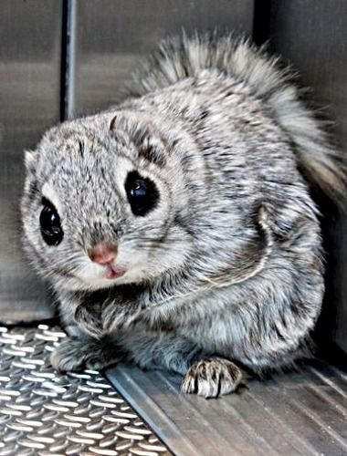 Siberian Flying Squirrel clipart #12, Download drawings