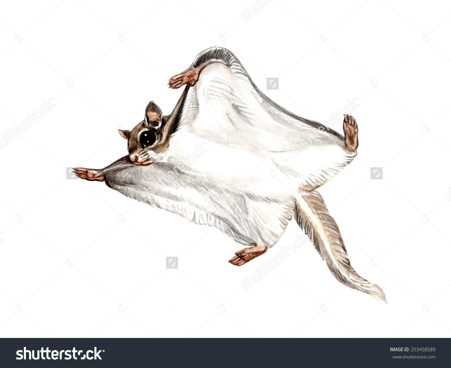 Siberian Flying Squirrel clipart #16, Download drawings