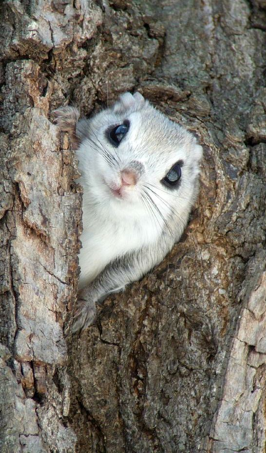 Siberian Flying Squirrel clipart #19, Download drawings