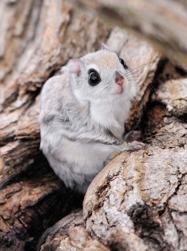 Siberian Flying Squirrel clipart #7, Download drawings