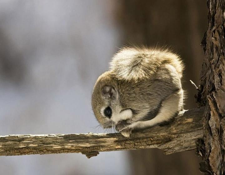 Siberian Flying Squirrel clipart #15, Download drawings