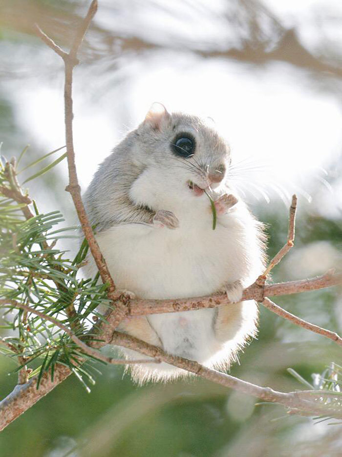 Siberian Flying Squirrel clipart #3, Download drawings